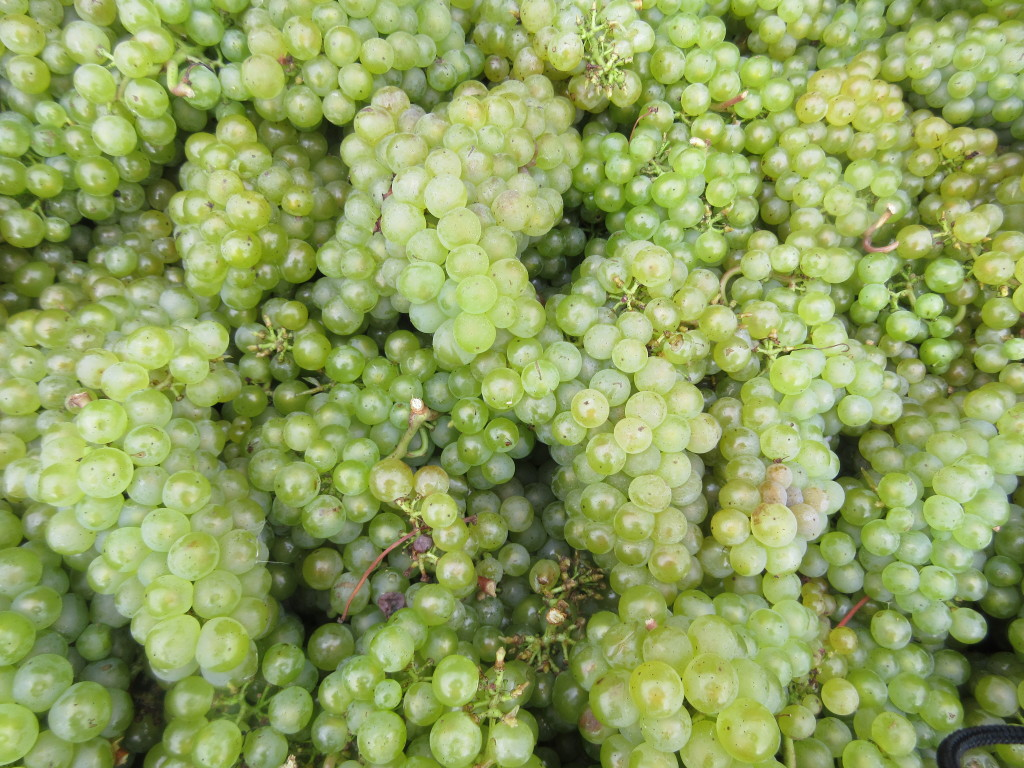 Gusbourne's freshly picked Chardonnay grapes